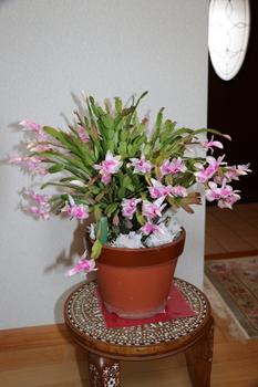 シャコバサボテン1.JPG