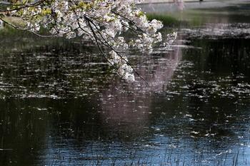 ミズトクサと桜.JPG