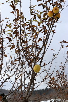 冬りんご2.JPG
