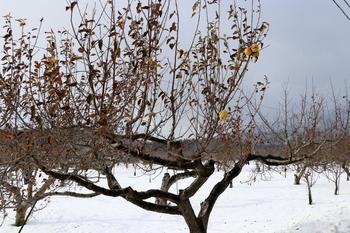 冬りんご1.JPG
