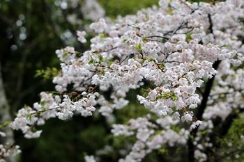 山桜2.JPG