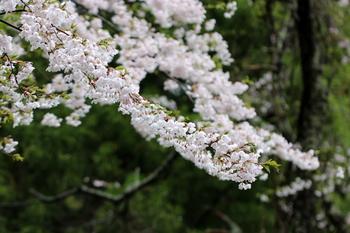 山桜3.JPG
