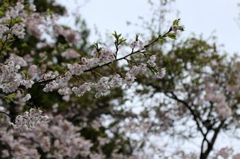 山桜4.JPG