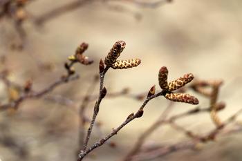 春の芽3.JPG