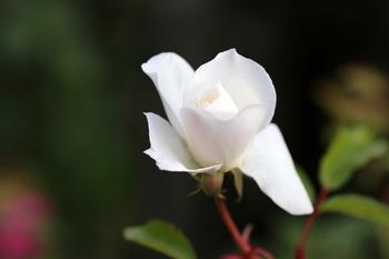 最後の薔薇2.JPG