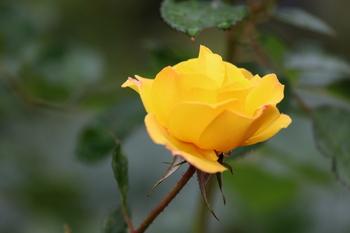秋薔薇1.JPG