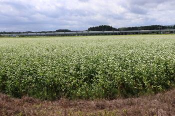 蕎麦の花1.JPG